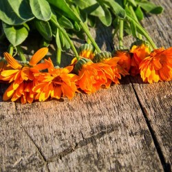 Calendula Officinalis Bio graines semences seeds