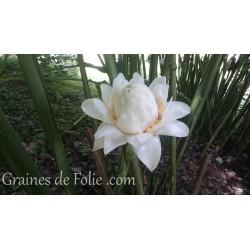ROSE PORCELAINE BLANCHE Etlingera Eliator graines semences white seeds samen