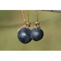 Passiflore GRAIN d' ENCRE Passiflora suberosa graines semences seeds