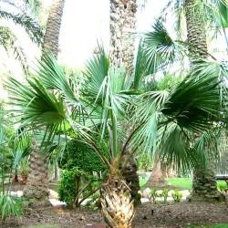 PALMIER DES BERMUDES Sabal Bermudana graines semences seeds