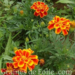 Oeillet d'Inde DURANGO FLAMME graines semences marigold seeds