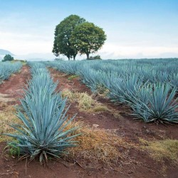 Agave TEQUILANA tequila graines semences seeds