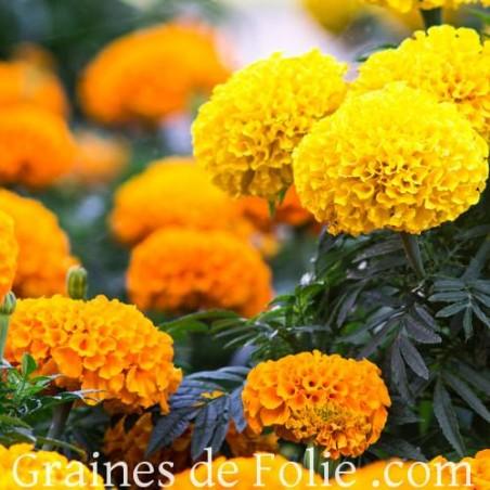 Rose d'Inde CRACKERJACK graines marigold seeds