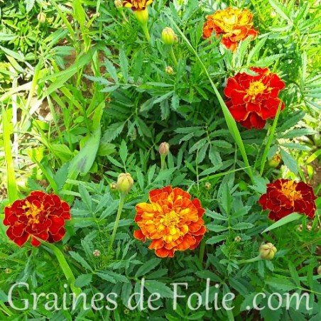Oeillet d'Inde Mélange Flamboyant graines semences sparky mix marigold