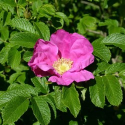 Rosier du Japon Rose rosa rugosa graines semences seeds