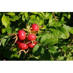 Rosier du Japon Rouge rosa rugosa graines semences red seeds