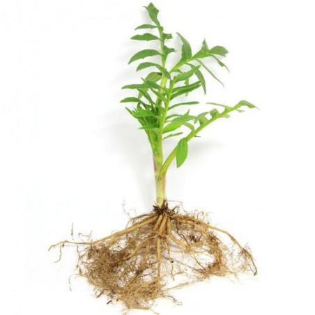 Bio VALERIANE OFFICINALE AB Valeriana Officinalis graines semences seeds