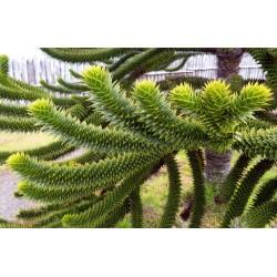 Désespoir des Singes Araucaria Araucana graines semences seeds samen