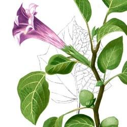 DATURA METEL violet graines semences seeds