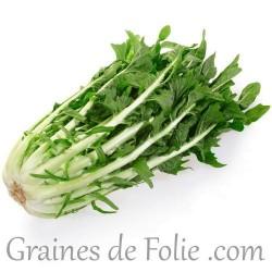 CHICOREE Sauvage VERTE DE CATALOGNE graines semences potagères anciennes