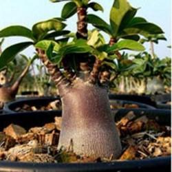 Rose du Désert MIX Adenium obesum graines seeds semilla semi samen zaden