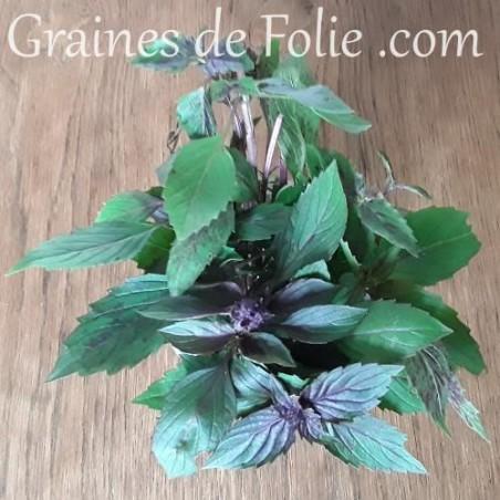 Basilic CORSE graines semences plantes aromatiques bio