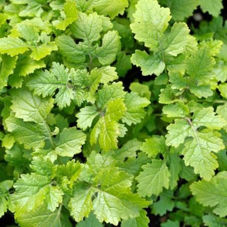 MOUTARDE BLANCHE engrais verts semences graines
