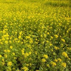 MOUTARDE JAUNE engrais verts graines semences certifiée AB Sinapis Alba