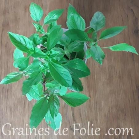 Basilic PERSE graines semences bio