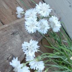 Centaurée bleuet Centaurea Cyanus graines semences seeds blanc white double ball