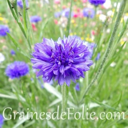 CENTAUREE bleu bleuet BLUE BOY Centaurea Cyanus graines seeds