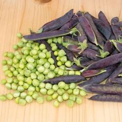 Pois à rames BLAUWSCHOKKER gousses pourpre violette bleu graines semences