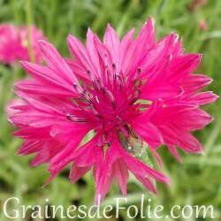Centaurée ROUGE bleuet Centaurea Cyanus red graines seeds