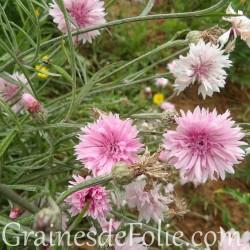 Centaurée ROSE bleuet Centaurea Cyanus pink graines seeds