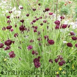 CENTAUREE bleuet NOIRE black Centaurea Cyanus graines seeds