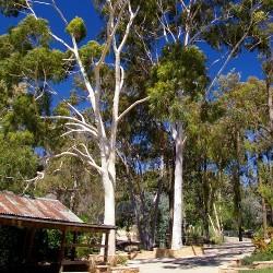 Eucalyptus CITRON  Corymbia Citriodora graines semences seeds samen