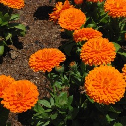 SOUCI calendula officinalis ORANGE KING graines semences seeds