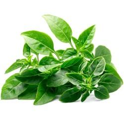 Basilic Fin Vert de TOSCANE bio semences aromatiques agriculture biologique certifiée AB