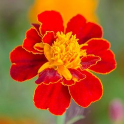 Oeillet d'Inde DISCO ROUGE fleurs simples Tagetes Patula graines seeds red marigold