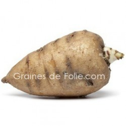 cerfeuil tubereux Chaerophyllum bulbosum graines semences bio ab certifiée seeds organics samen zaden semi semillas