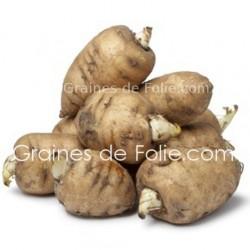 cerfeuil tubereux Chaerophyllum bulbosum graines semences bio ab certifiée