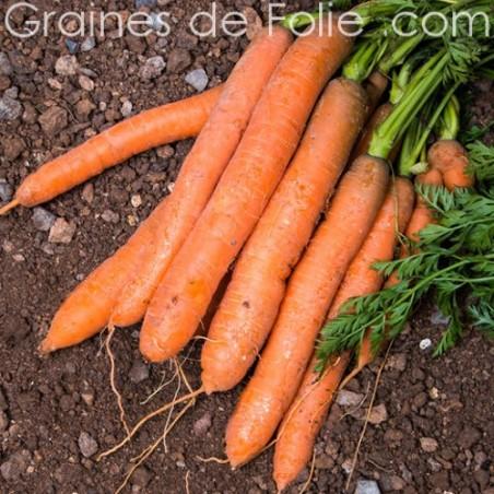Carotte BERLICUM graines semences anciennes certifiée AB
