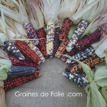 Maïs des indiens graines semences anciennes