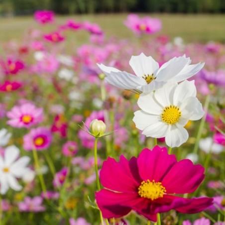 Cosmos SENSATION mix graines semences fleurs