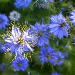 Nigelle de Damas nigella damascena graines seeds