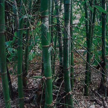 Bambou bambusa tulda graines seeds