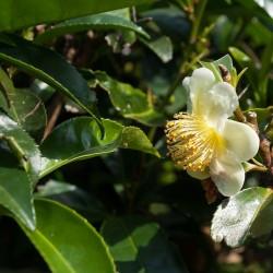 THEIER Camellia Sinensis graines Thé vert noir Marocain semence