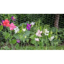 Pois de senteur graines fleurs