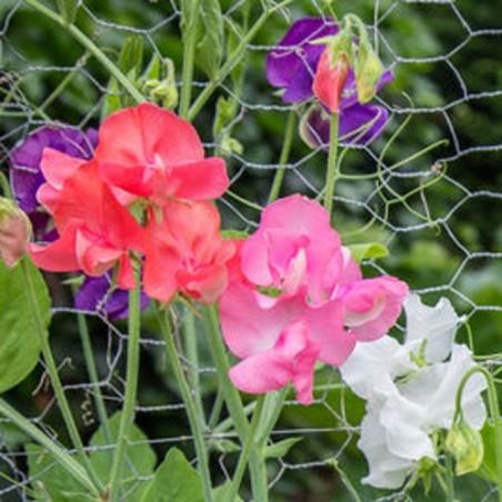 Pois de senteur lathyrus odoratus royal mix graines fleurs