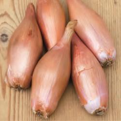 échalion Cuisse de Poulet du POITOU ou Zébrune graines semences échalote oignon