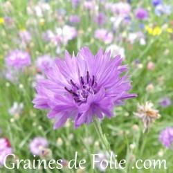 Centaurée mauve violette double Centaurea Cyanus purple graines semences seeds