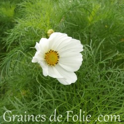Cosmos Blanc sensation purity graines semences seeds