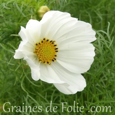 Cosmos Blanc sensation purity graines semences seeds