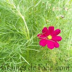 cosmos bipinnatus dazzler éblouissant fuschia graines semences