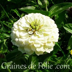 Zinnia blanc double ours polaire polar bear graines seeds