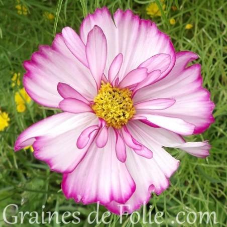 Cosmos fizzy rose picotée graines semences