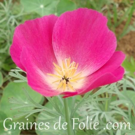 Pavot de californie Eschscholzia Californica mauve violet purple gleam graines semences seeds