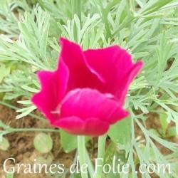 Pavot de californie Eschscholzia Californica mauve violet