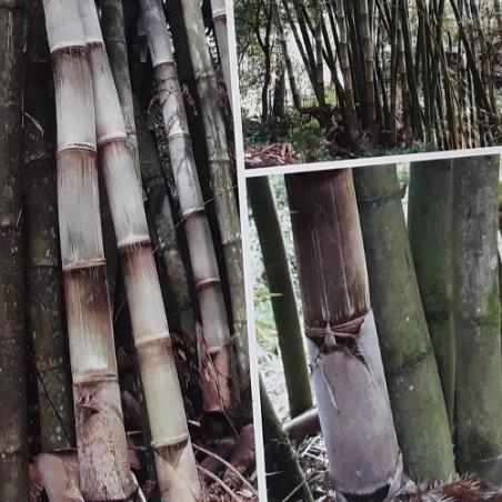 Bambou Géant DENDROCALAMUS ASPER seeds samen zaden semi semillas graines bambu bamboo grain semence