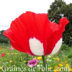 Pavot Danois papaver danish dwarf graines semences seeds